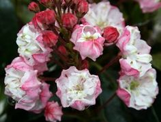 """Madeline Double Mountain Laurel - Kalmia - Very Hardy - Potted by Hirts: Mountain Laurel. $7.99. The starter plant you will receive is growing in a 4"""" pot.. Very hardy, zones 5-9. The only double flowered Mountain Laurel. Prefers shade or part-shade. 4' tall, space 4' apart. The Mountain Laurel (Kalmia latifolia), also known as Spoonwood, is a beautiful evergreen shrub that flowers every spring. The unique star shaped flowers form in a tight cluster and bloom from early June t... Evergreen Shrubs, Flowering Shrubs, Trees And Shrubs, Shade Garden, Garden Plants, Kalmia Latifolia, Flower Landscape, Woodland Garden, Plantation"""