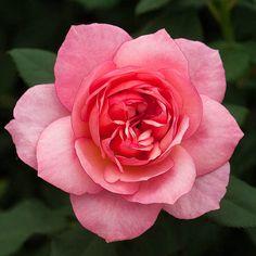 Floribunda Rose: Rosa 'Channabelle' (U.K., 2013)