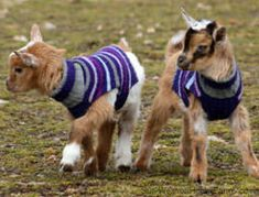 Image result for miniature goat