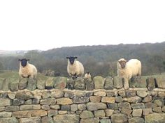 #yorkshire #countryside #sheep #fields #westyorkshire #leeds #guiseley #loveyorkshire #agency #office #work Agency Office, West Yorkshire, Leeds, Social Media Marketing, Countryside, Sheep, Digital