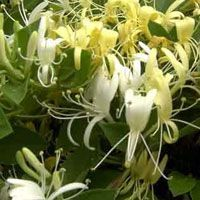 Plantes comestibles    Les fleurs de chèvrefeuille sont délicieuses en sorbet                                                                                                                                                                                 Plus