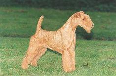 SAREDON RUBY TUESDAY - UKCH Irish Terrier, Airedale Terrier, Terriers, Lakeland Terrier, Ruby Tuesdays, Dog Photos, Fur Babies, Puppies, Dog Breeds