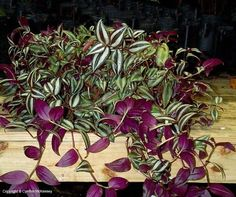 Wandering Jew Plant- Easy, beautiful & simple house plant!