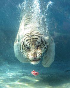 Красавцы...тигры под водой