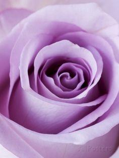 Light Purple Rose Reproduction photographique par Clive Nichols sur AllPosters.fr