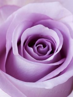 Light Purple Rose Photographic Print by Clive Nichols at AllPosters.com