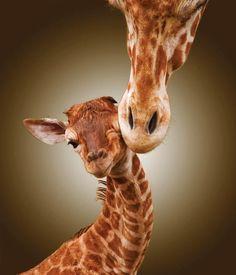 Giraffe kiss mom and baby