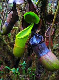 Nepenthes macrophylla. Eats rats. Found only on Gunung Trusmadi, Sabha, Malaysia.