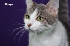 Homer is an adoptable Domestic Short Hair - Gray And White Cat in Indianapolis, IN. This handsome fellow is Homer. Homer is soft and sweet. He is such a lover. Homer enjoys attention and enjoys snuggl...