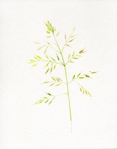 Grass botanical drawing watercolor original by VerbruggeWatercolor