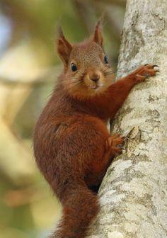 "michaelnordeman: ""Red squirrel or Eurasian red squirrel/ekorre (Sciurus vulgaris). """