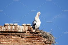 European white stork Photos European white stork (Ciconia ciconia) nestlings in a nest in the wild in Alcala de Henares, Madrid by peizais