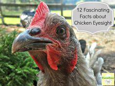 Do You See What I See? 12 Fascinating Facts about Chicken Eyesight