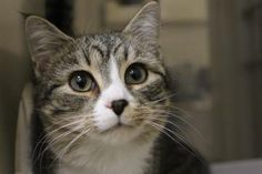 Petango.com – Meet Jurger, a 6 months 8 days Domestic Shorthair / Mix available for adoption in Hagerstown, MD