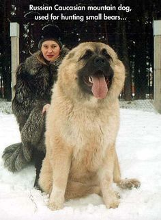 Russian Caucasian Mountain Dog Used For Hunting Small Bears cute animals dogs adorable dog animal pets facts did you know