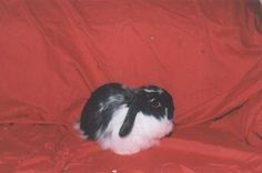 Dusty, a female American Fuzzy Lop we cared for while he was in the rescue's care.