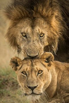 Pin by donnalea thomas on pets Nature Animals, Animals And Pets, Cute Animals, Lion Pictures, Animal Pictures, Beautiful Cats, Animals Beautiful, Beautiful Couple, Lion Couple