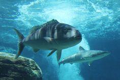 uShaka Marine World Reef Shark, Underwater, Whale, Photography, Animals, Whales, Photograph, Animales, Animaux