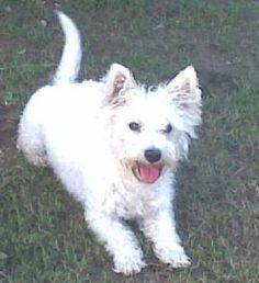 WEE-CHON - West Highland Terrier x Bichon Frise