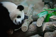 JANUARY 25: Huan Huan, a female giant panda sleeps inside her enclosure at Zoo Parc De Beauval on January 25, 2012 in Beauval, France.