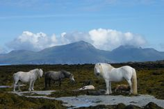 Wild horses on the tiny Isle of Muck, Scotland.