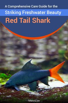 An All-Inclusive Care Guide of Red Tail Shark - The Freshwater Species Freshwater Aquarium Sharks, Tropical Freshwater Fish, Tropical Fish Aquarium, Fish Tank Terrarium, Terrariums, Tanked Aquariums, Fish Aquariums, Cichlid Aquarium, Cool Fish Tanks