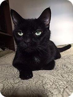 New York, NY - ANJELLCLE, NO KILL - Domestic Shorthair. Meet Xotic, a cat for adoption. http://www.adoptapet.com/pet/13640938-new-york-new-york-cat