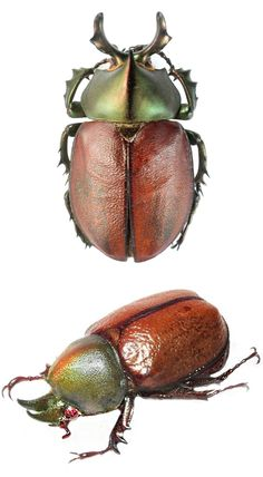 Agaocephala margaridae