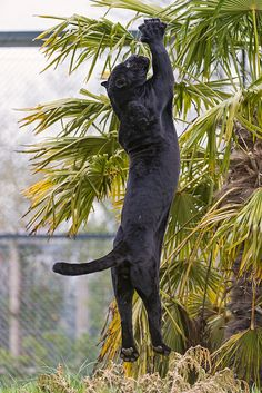 Determined panther