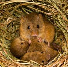 とんでもなくカワええ!知られざる野ネズミの生態!Klein & Hubert's Photo