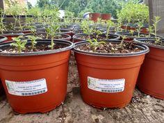 Planta pequeña stevia $35.00 pesos Visitanos en: www.stevia-kaa-hee.com