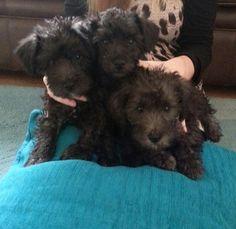 Schnoodles miniature schnauzer x poodle puppies