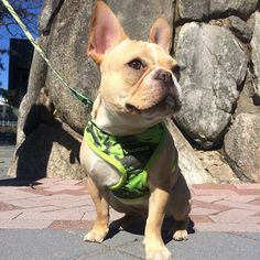 www.frenchiebulldog.com Frenchie Reversible Harnesses -Harnesses for french bulldogs