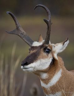 Pronghorn Antelope. I love watching these out on the prairie east of town.