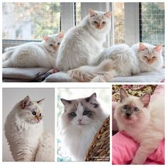All my current living cats The triplets Sidi, Vitali, Dante all red point Birma cats Ghini, blue tortie Birma cat Yukimi blue bicolor Ragdoll and Jeremy blue point Ragdoll
