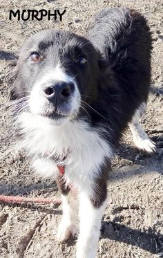 ADOPTED! Tag# 7921 Name is Murphy (arrived with Connor)  Border Collie Male-not neutered Approx. 7-8 months old Approx. 35 lbs. (thin) Just a pup! Full of hugs and kisses!  Located at 2396 W Genesee Street, Lapeer, Mi.  For more information please call 810-667-0236  https://www.facebook.com/267166810020812/photos/a.806337506103737.1073742133.267166810020812/806340692770085/?type=3&theater