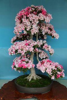 PARTAGE OF BONSAI & SUISEKI MAGAZINE ......ON FACEBOOK............. Bonsai Azalea, Wisteria Bonsai, Flowering Bonsai Tree, Bonsai Art, Bonsai Plants, Bonsai Garden, Ikebana, Beautiful Gardens, Beautiful Flowers