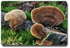 Gloeophyllum sepiarium (Wulf.). Karst  Le Lenzite des Poutres ou encore Lenzite des clôtures dont le nom scientifique est Gloeophyllum sepiarium (Wulf.). Karst, font parties des champignons provoquant une pourriture cubique brune ou brun rouge.  Ce champignon lignivore est toujours rencontré à l'air libre et il est capable de résister facilement à des alternances d'humidité et de sécheresse. Ce champignon dégrade les barrières, les poteaux, les piles de pont et les lamellés-collés…
