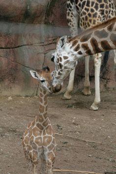 moeder en kind Giraffe Gaia-zoo