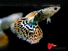 Beautiful Mosaic Guppy just like wearing a fashion dress, is a great joy to watch them swim in group.