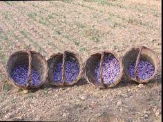 Azafran La Flor | Azafrán de Origen La Mancha | Cultivo Recoleccion Saffron from Spain