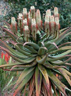 Aloe ferox (white flowered form)