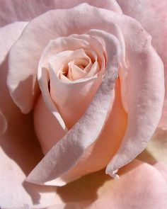 If they could only bottle this perfect pale pink. #pinkrose #rosepics #flowerphotography