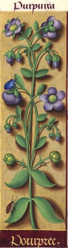 Pourpree - Purpurea (Fleurs violettes difficiles à déterminer) -- Grandes Heures d'Anne de Bretagne, BNF, Ms Latin 9474, 1503-1508, f°140r