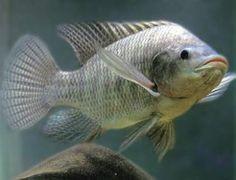 Tilapia http://www.mascotadomestica.com/especies-de-peces/tilapia.html