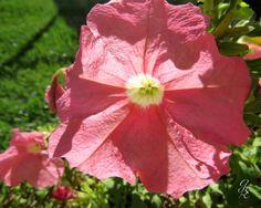 Pink Petunia by GodsBeautifulEarth on Etsy