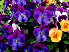 beautiful+pansy+arrangements | Beautiful bouquet of flowers pansies wallpapers and images