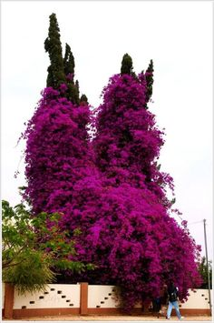 Beauty Of Bougainvillea Vines The amazing beauty of vines - Bougainvillea In nature, bougainvillea bushes growing in the southern regions and the tropics as abundantly flowering climbing and climbing vines. Her flowers are actually coloured in purple or red, prisotsvetnye leaves. Bougainvillea loves the sun and it grows very luxuriantly.