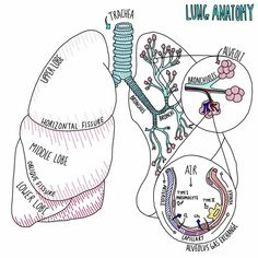 biology notes The Larynx - Blood and Nerve Supply Nursing School Notes, Medical School, Nursing Schools, Ob Nursing, Med Student, Lung Anatomy, Body Anatomy, Medicine Notes, Human Anatomy And Physiology