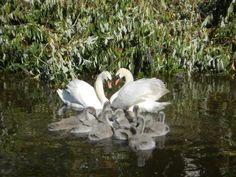 Sing Now, Tumblr, Swan Lake, Green Life, Enchanted, Peonies, Creatures, Birds, Pictures